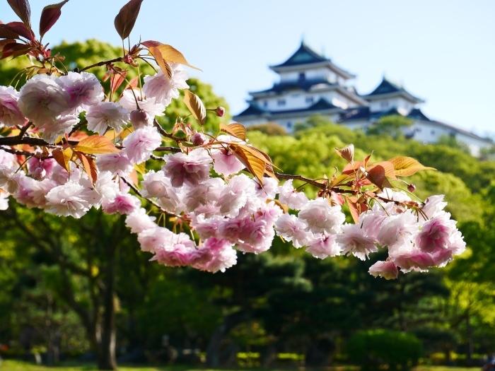 八重桜  2020-04-25 00:00   _b0093754_23211679.jpg