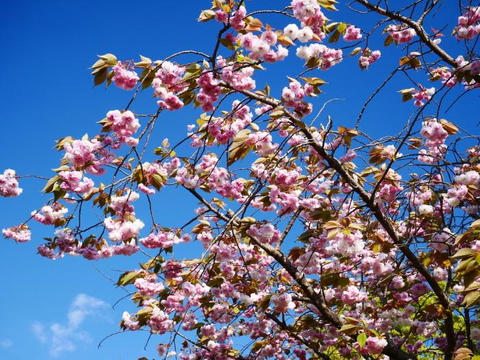 八重桜  2020-04-25 00:00   _b0093754_23212693.jpg