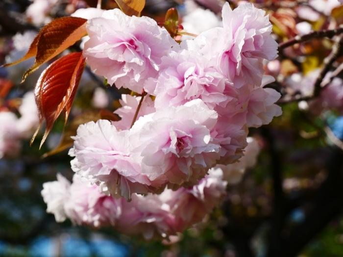 八重桜  2020-04-25 00:00   _b0093754_23213637.jpg