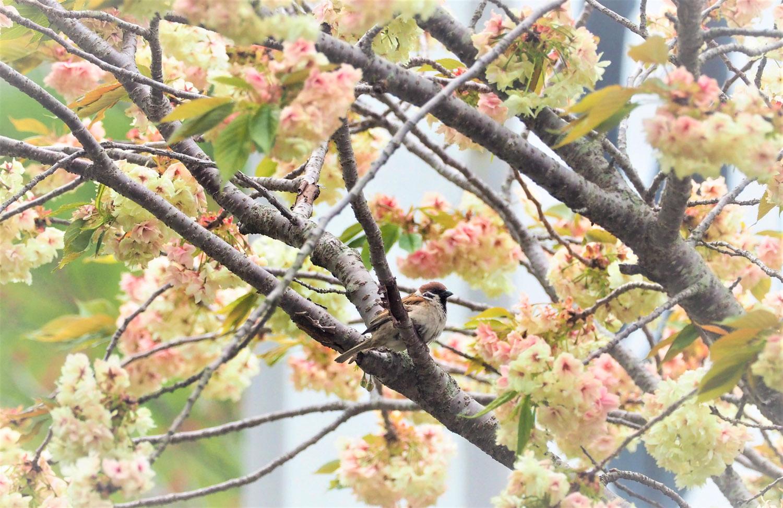 桜 ウグイス ケリ_e0254493_1117545.jpg