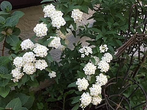 小さな庭のバラ&「ピエール・ドゥロンサール」_d0046702_14385296.jpg