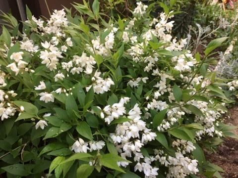 小さな庭のバラ&「ピエール・ドゥロンサール」_d0046702_14391182.jpg