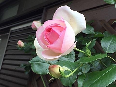 小さな庭のバラ&「ピエール・ドゥロンサール」_d0046702_15163793.jpg