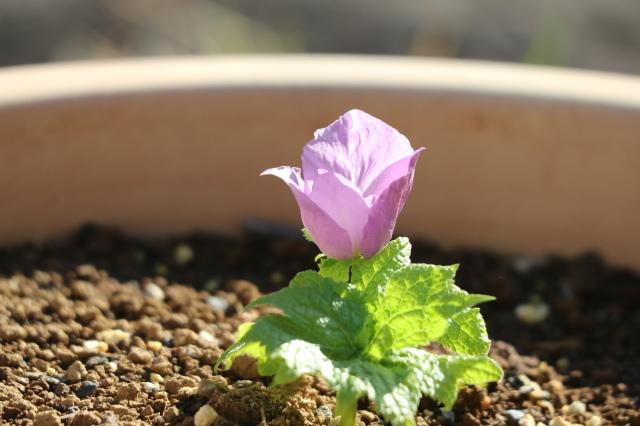 シラネアオイ~my garden~_e0397815_23275876.jpg