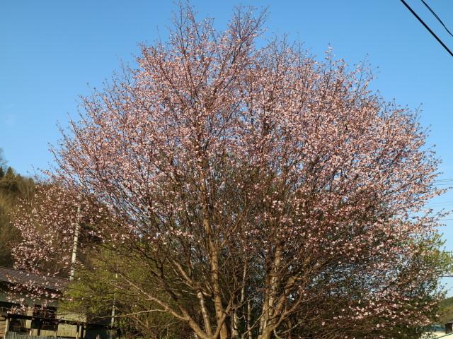 シラネアオイ~my garden~_e0397815_23384240.jpg
