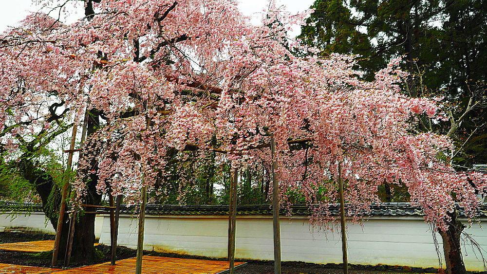 醍醐寺 桜_a0287533_23223850.jpg