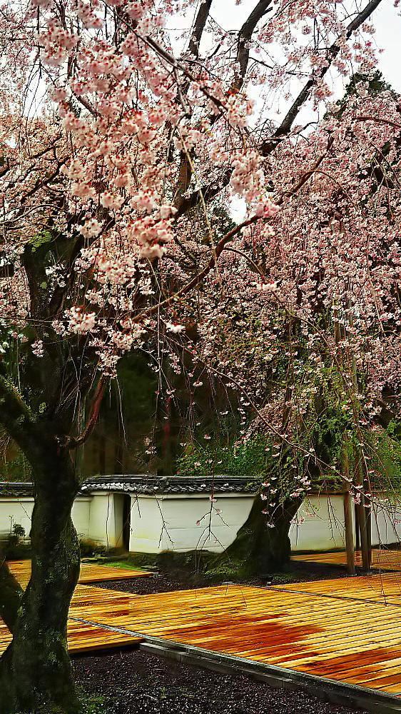 醍醐寺 桜_a0287533_23223852.jpg