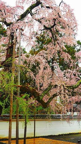 醍醐寺 桜_a0287533_23223861.jpg