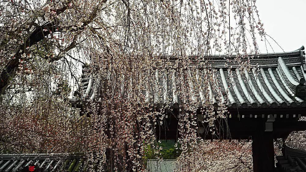 醍醐寺 桜_a0287533_23223872.jpg