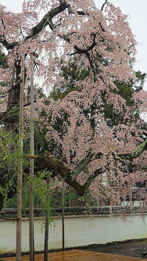 醍醐寺 桜_a0287533_23223906.jpg