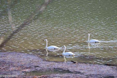 聖台ダムの白鳥VOL.2~4月の美瑛_d0340565_19454426.jpg