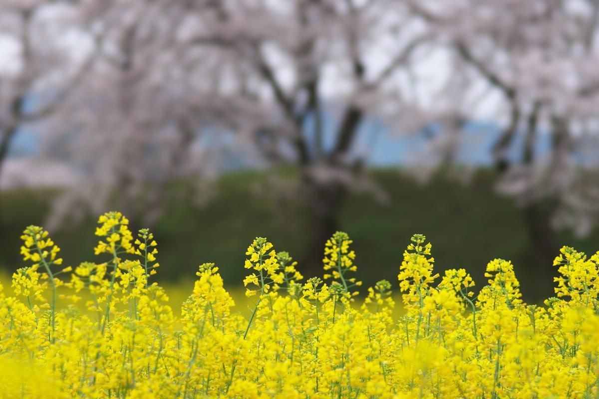 藤原宮跡の菜の花・桜_b0408917_22121207.jpg