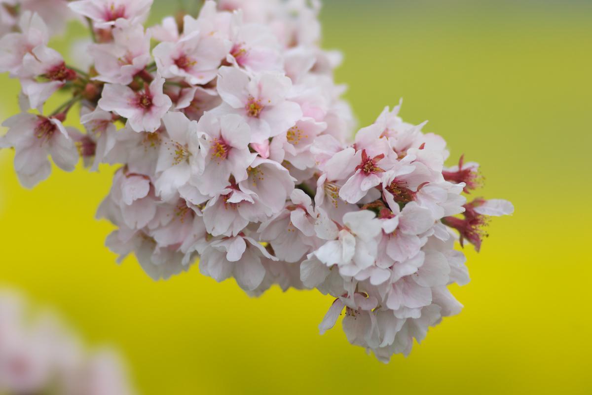 藤原宮跡の菜の花・桜_b0408917_22123261.jpg