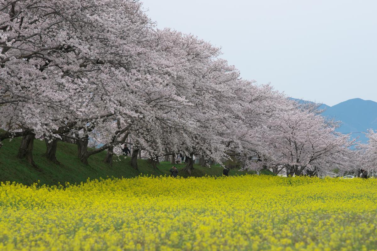 藤原宮跡の菜の花・桜_b0408917_22131727.jpg