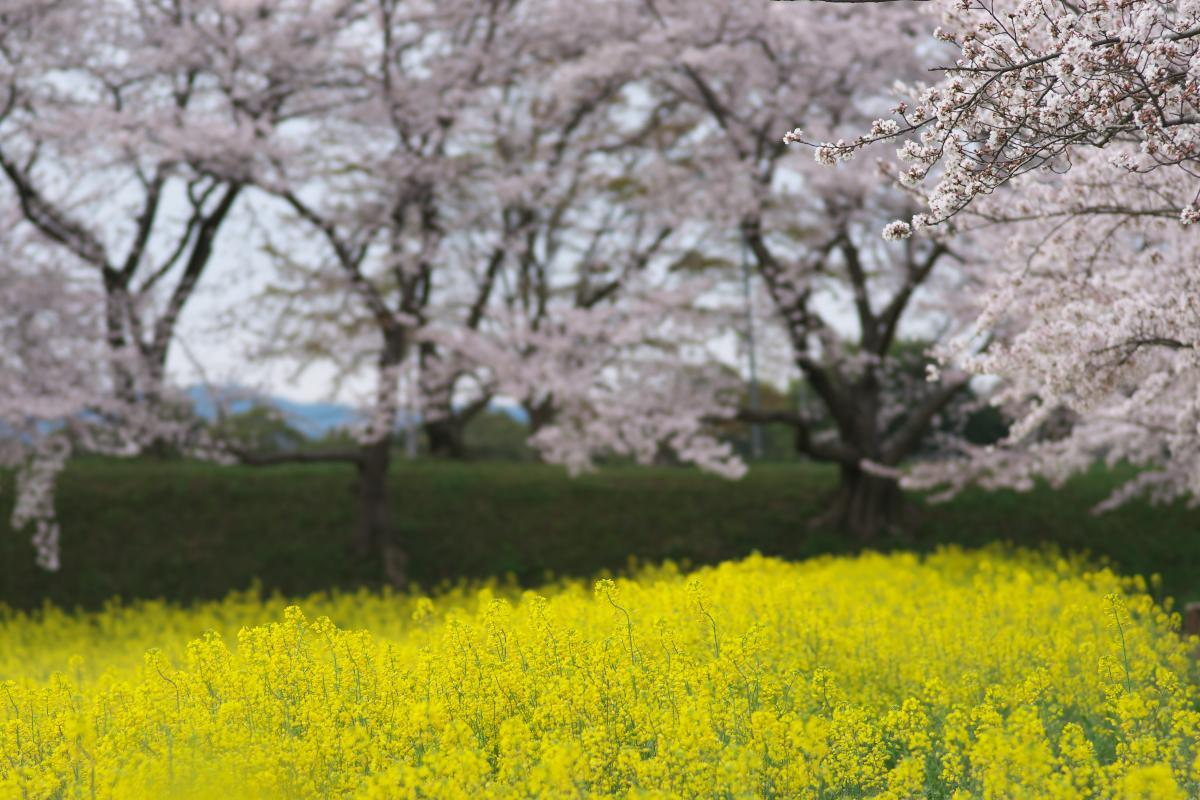 藤原宮跡の菜の花・桜_b0408917_22134319.jpg