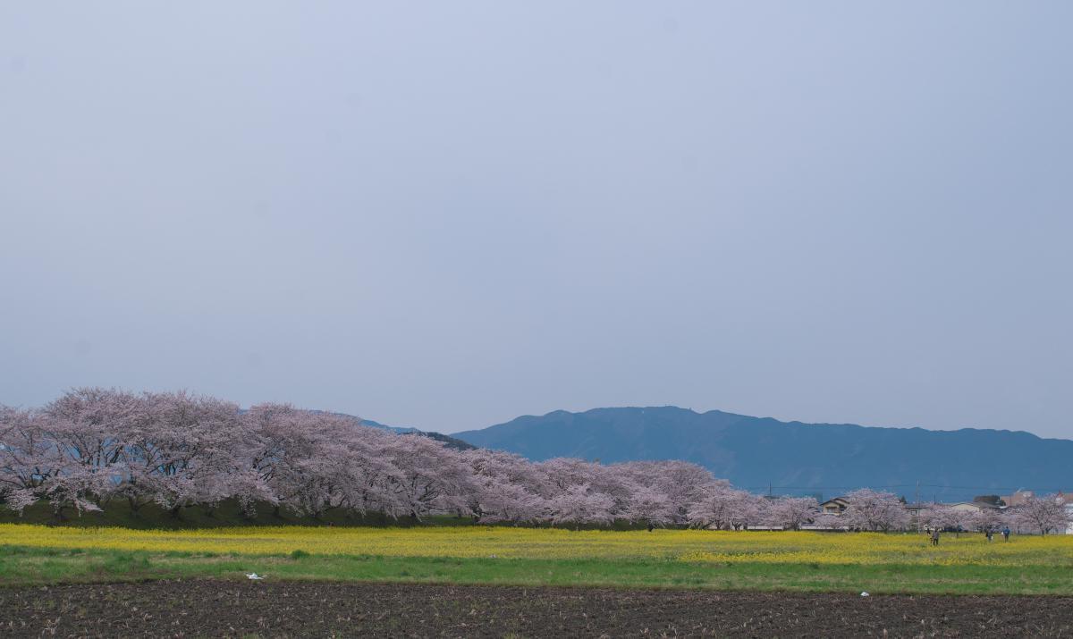 藤原宮跡の菜の花・桜_b0408917_22140654.jpg