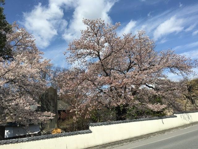 🌸桜情報🌸_d0035921_02435252.jpeg