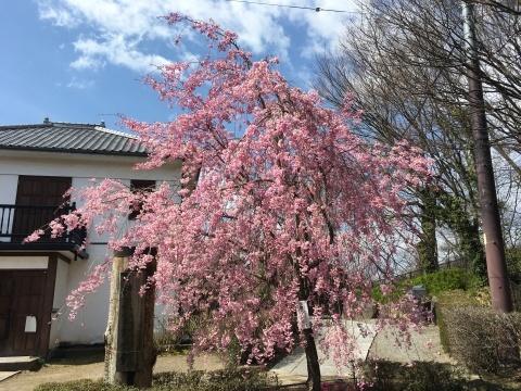 🌸桜情報🌸_d0035921_02451247.jpeg