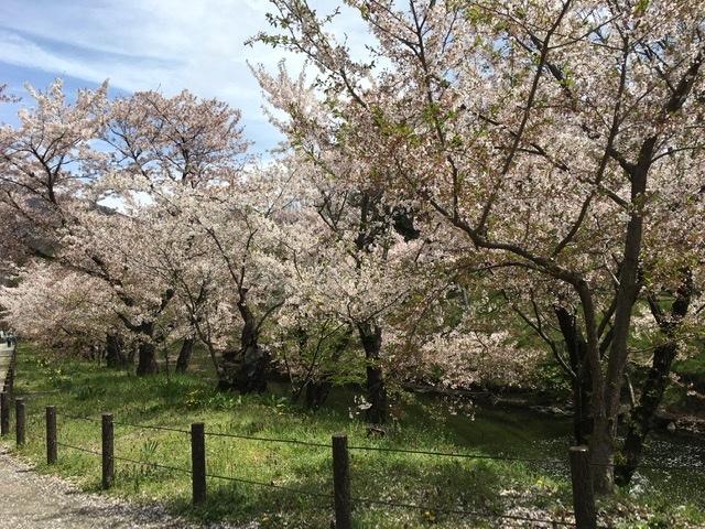 🌸桜情報🌸_d0035921_02572566.jpeg