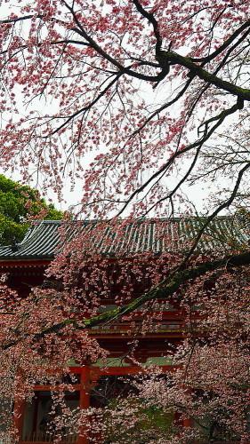 醍醐寺 桜Ⅲ_a0287533_22350602.jpg