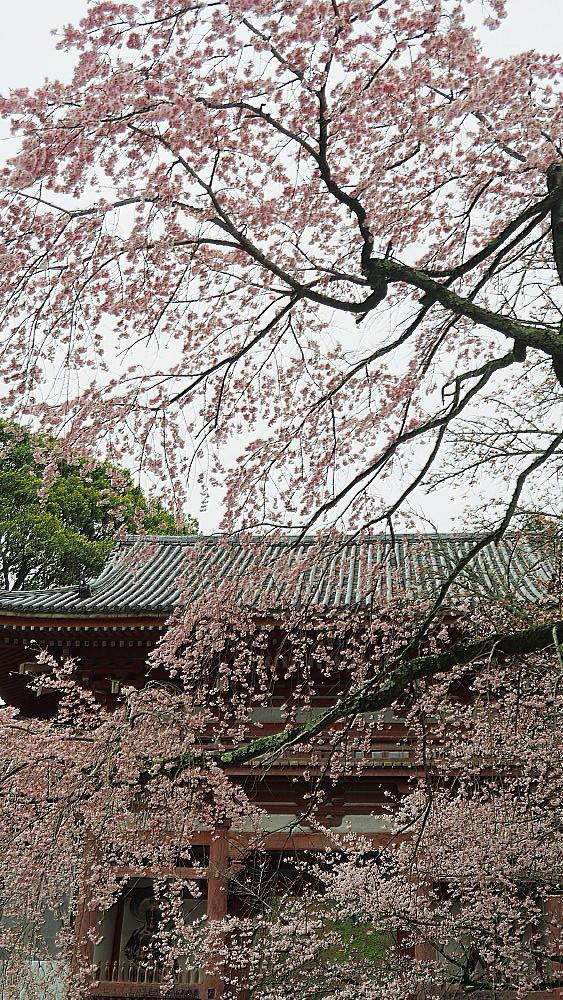 醍醐寺 桜Ⅲ_a0287533_22350686.jpg