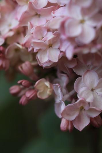 リラの花咲くころ_f0282759_00522922.jpg