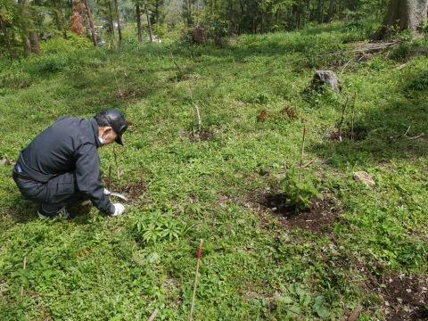嬉しいな!六国見山に植樹したヤマアジサイに花芽4・23_c0014967_07162217.jpg