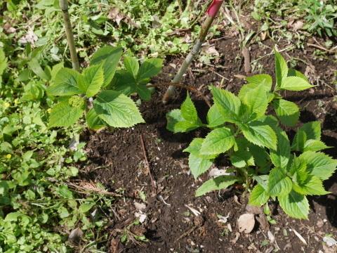 嬉しいな!六国見山に植樹したヤマアジサイに花芽4・23_c0014967_07163785.jpg
