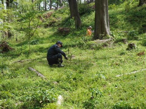 嬉しいな!六国見山に植樹したヤマアジサイに花芽4・23_c0014967_07174107.jpg