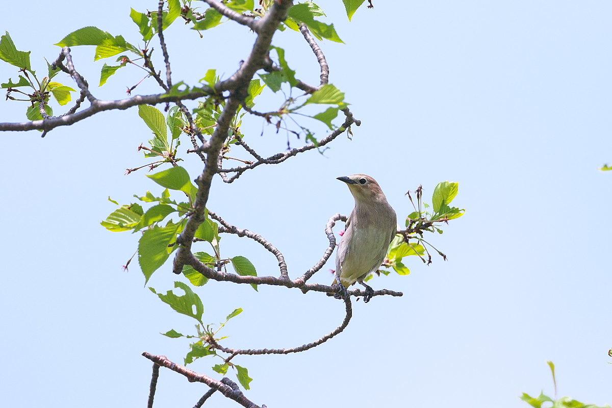 葉桜にコムクドリ_d0125872_22271295.jpg