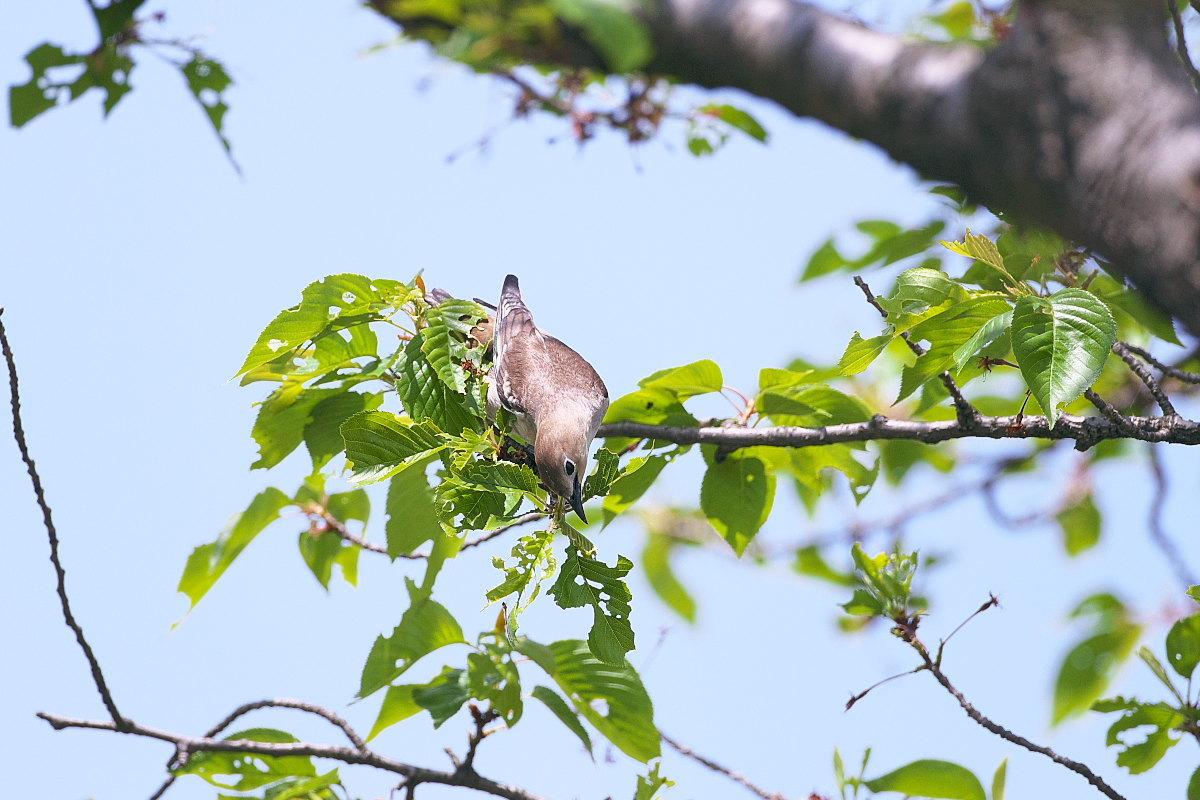 葉桜にコムクドリ_d0125872_22272618.jpg