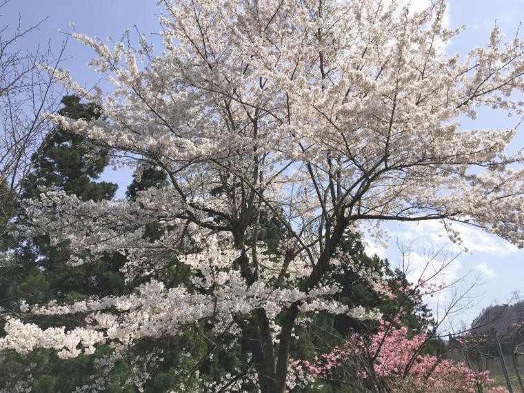 桜ひらひら舞い降りて落ちて〜♪_b0185375_13274144.jpg