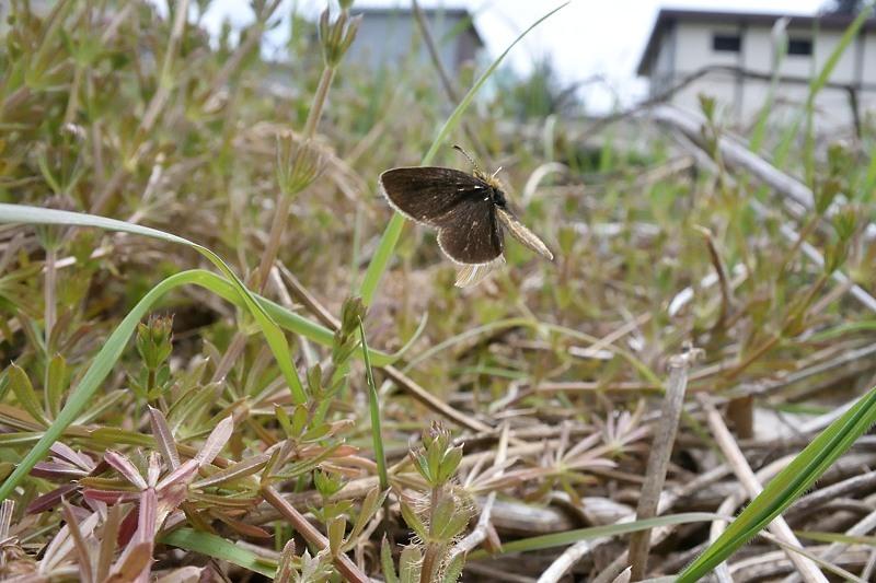 小畔川便り(ギンイチ吸蜜・産卵:2020/4/17.19)_f0031682_19471587.jpg