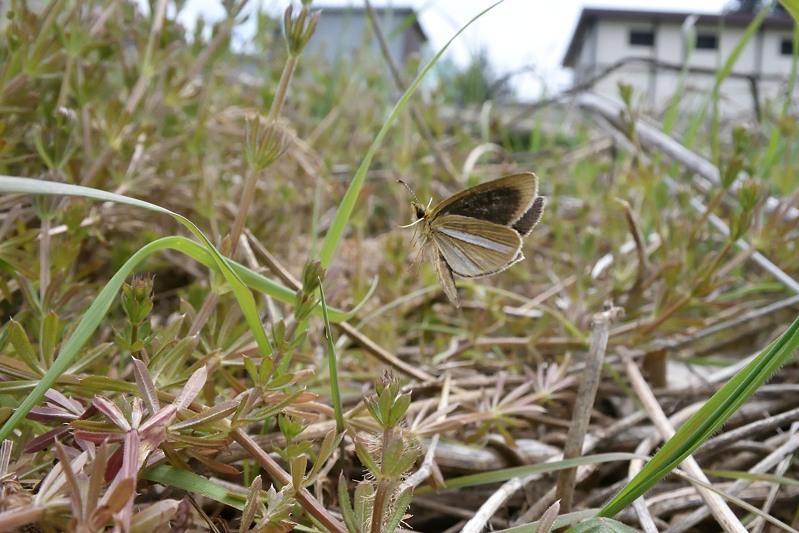 小畔川便り(ギンイチ吸蜜・産卵:2020/4/17.19)_f0031682_19502177.jpg