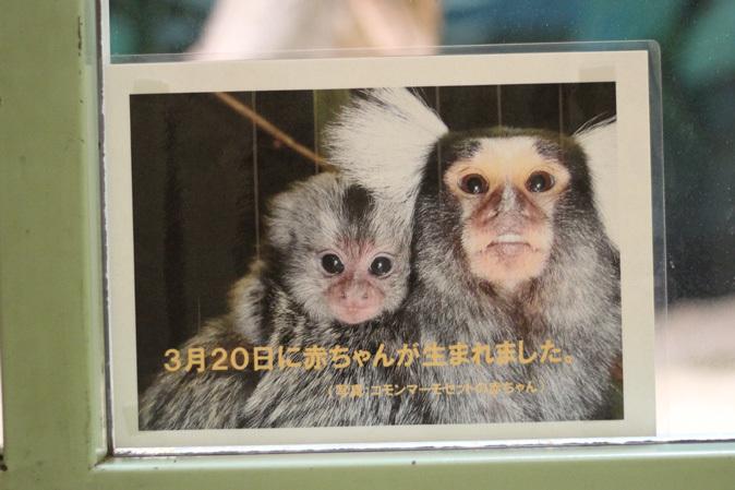 マーモセットの子供たち(千葉市動物公園 June 2019)_b0355317_20450633.jpg