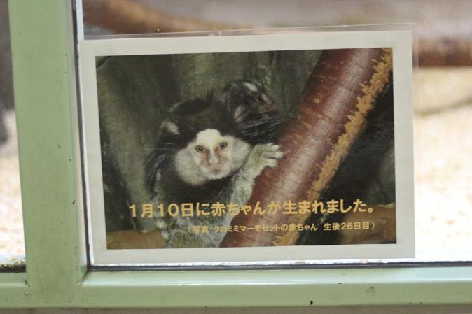マーモセットの子供たち(千葉市動物公園 June 2019)_b0355317_20513939.jpg