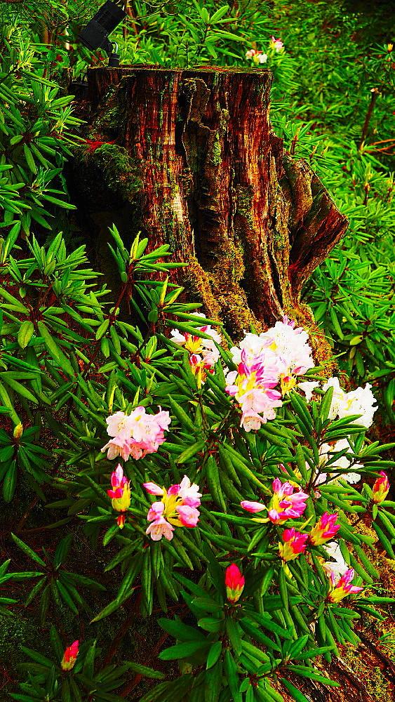 高台寺 石楠花と観音様_a0287533_09480444.jpg