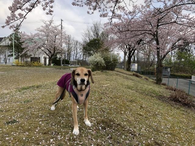 今年の桜は長持ち_b0031538_23143503.jpeg