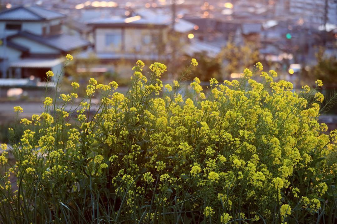 菜の花と夕焼け_e0403850_20260420.jpg