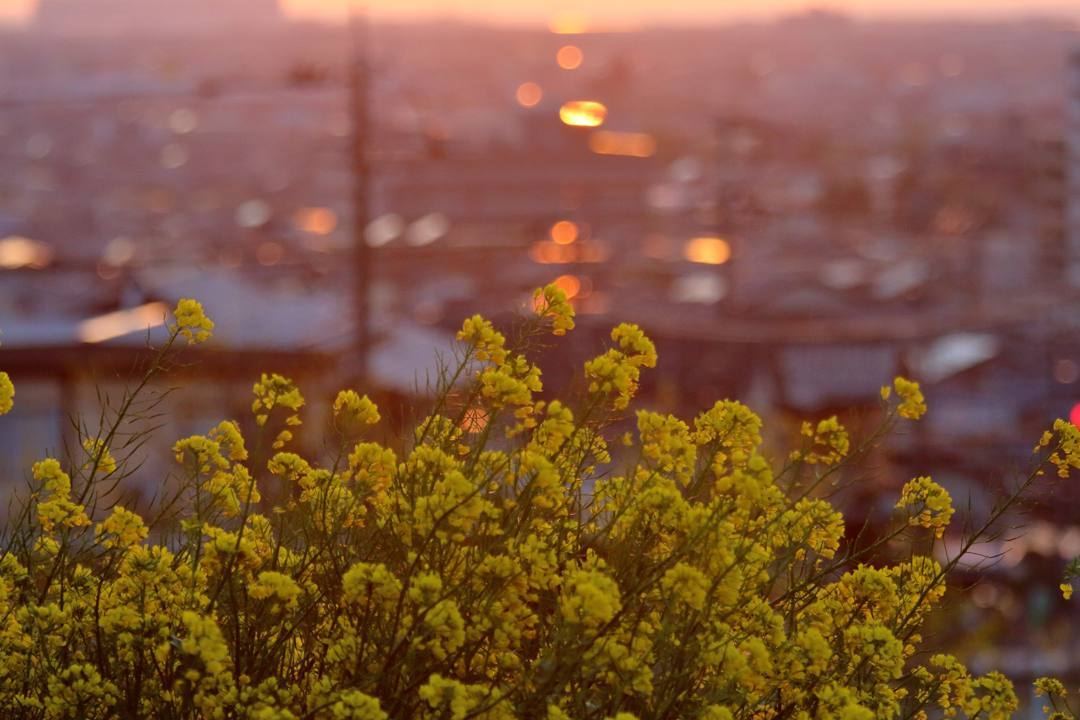 菜の花と夕焼け_e0403850_20260812.jpg