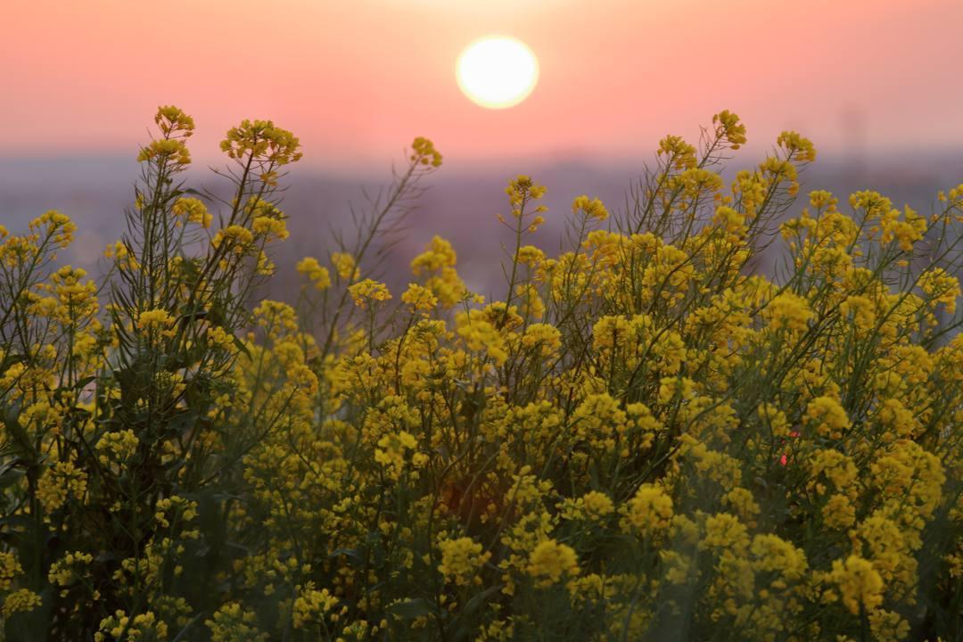 菜の花と夕焼け_e0403850_20265792.jpg