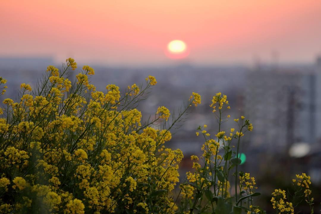 菜の花と夕焼け_e0403850_20271170.jpg