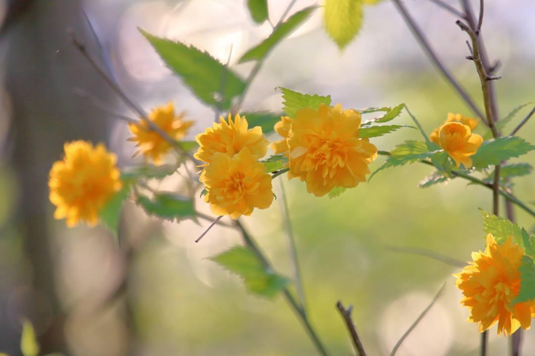 菜の花と夕焼け_e0403850_20315300.jpg