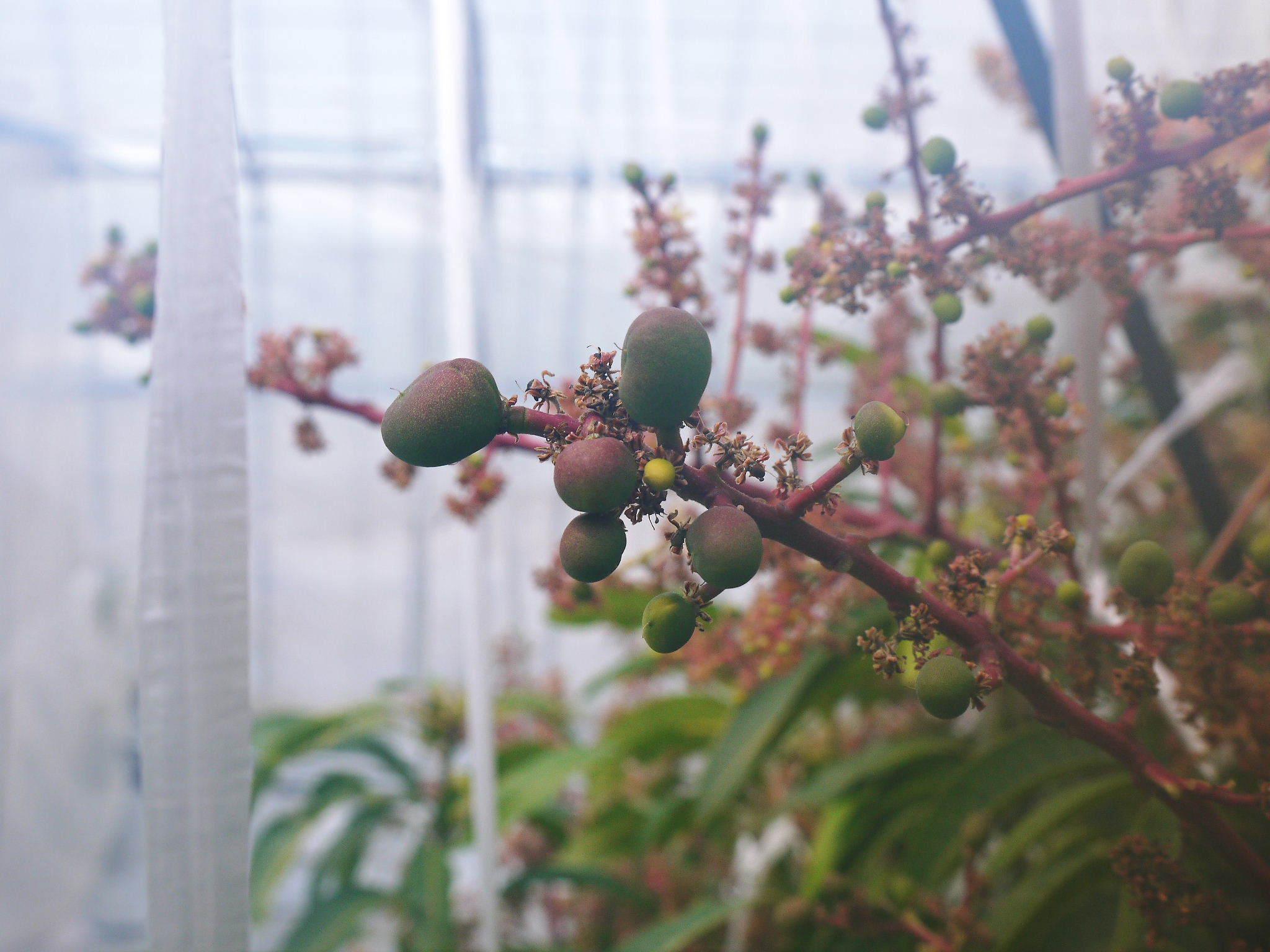 完熟アップルマンゴー 着果の様子を現地取材! まもなく始まる匠の摘果作業!_a0254656_18270926.jpg