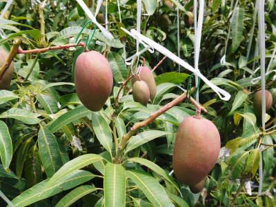 完熟アップルマンゴー 着果の様子を現地取材! まもなく始まる匠の摘果作業!_a0254656_18345031.jpg