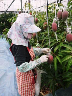完熟アップルマンゴー 着果の様子を現地取材! まもなく始まる匠の摘果作業!_a0254656_18384218.jpg