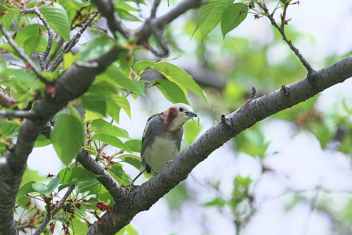 葉桜にコムクドリ②_d0125872_23023762.jpg