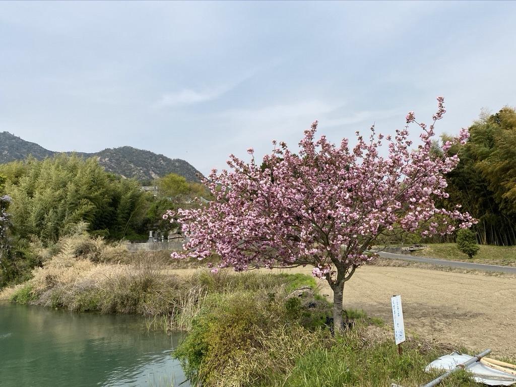 裏山を抜けて 〜昭和池の辺りの八重桜〜_c0334574_16324817.jpeg