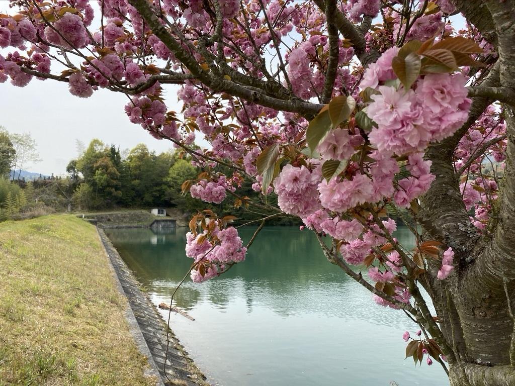 裏山を抜けて 〜昭和池の辺りの八重桜〜_c0334574_16333809.jpeg