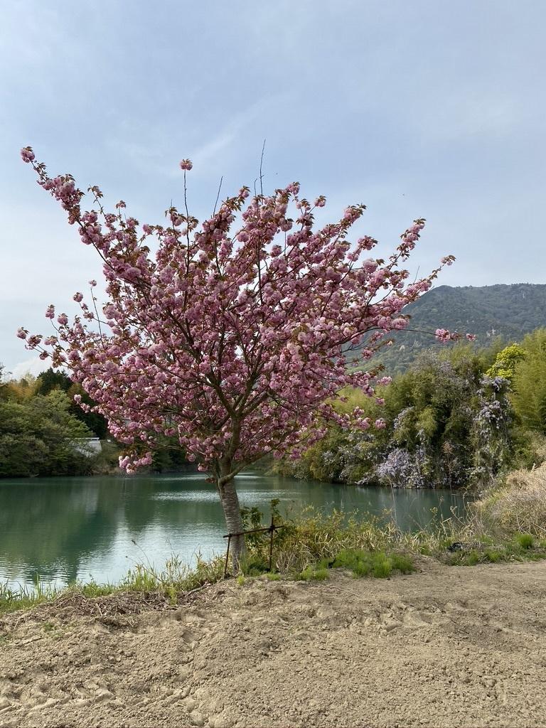 裏山を抜けて 〜昭和池の辺りの八重桜〜_c0334574_16342114.jpeg
